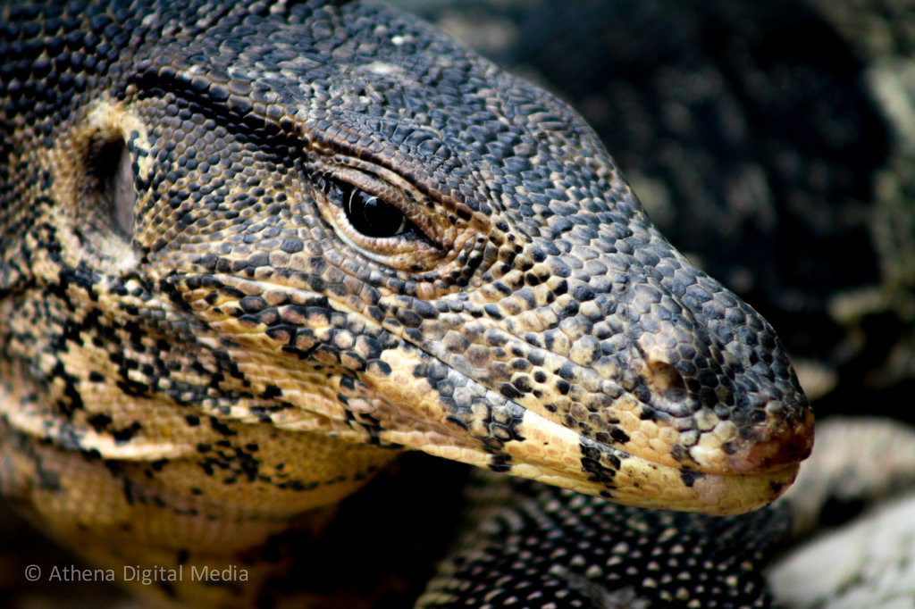 Water Monitor Headshot